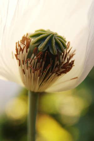 Close up shot of pollen poppy flower
