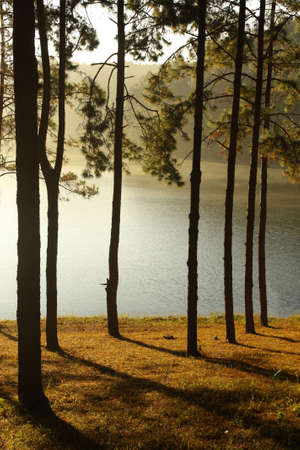 pine forest in National park