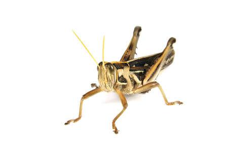 a grasshopper on white background,