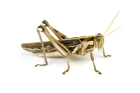 a grasshopper on white background,