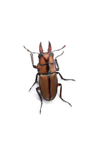 Yellow stag beetle on white Stock Photo