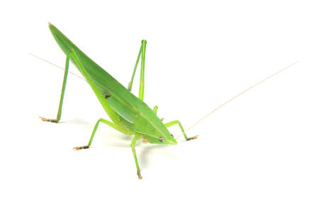 a green cricket on white background, Stock Photo