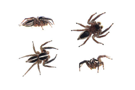 Jumping spiders on white background Stock Photo