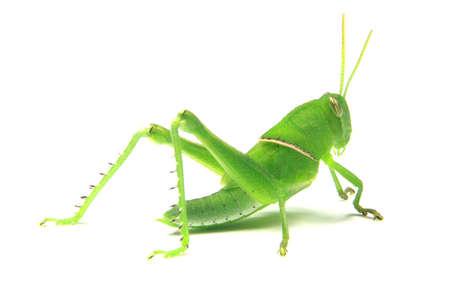 locust: green grasshopper