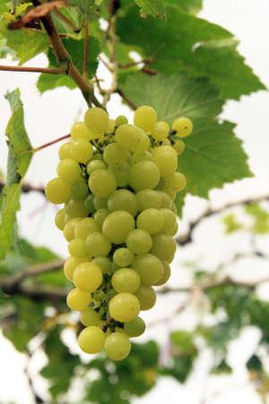 Closeup on grape in a garden