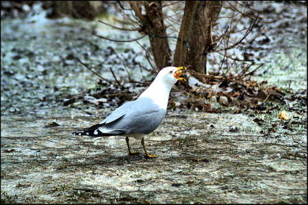 stealer: Common Gull