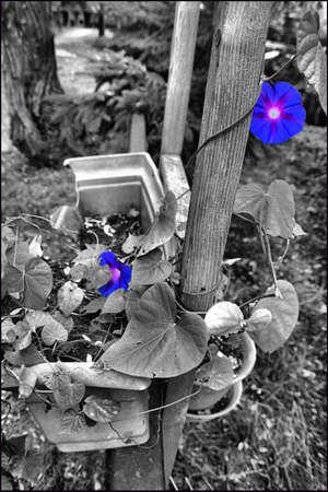 urban decay: ColorBW flower image, Toronto Ontario Stock Photo