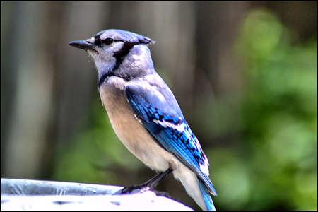 Common BlueJay