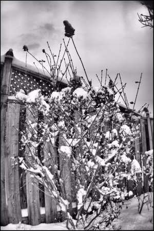Snow covered Lilac BW Imagens