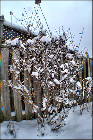 Snow covered Lilac Imagens