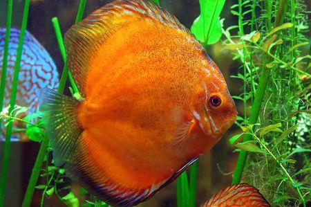 diskus: Diskus fish in a tank Stock Photo