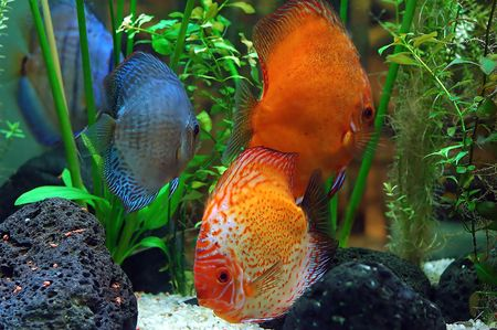Diskus fish in a tank photo