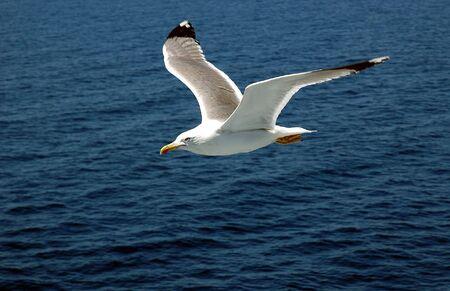 Sea gull in flight Banco de Imagens