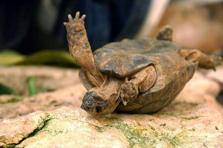 overturn: Ribaltata tartaruga sta cercando di ottenere di nuovo a piedi.  Archivio Fotografico