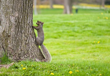 foreleg: Squirrel climbing a tree with a nut in its mouth