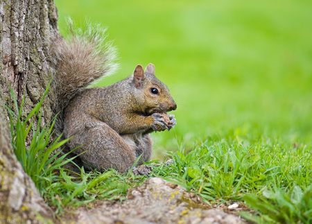 foreleg: Squirrel eating a nut at a base of a tree