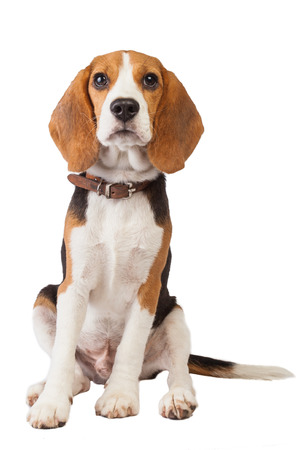 beagle puppy: beagle puppy over white background