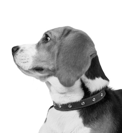 vertebrate: dog, isolated, 2, on, mammal, white, years, brown, beagle, shot, pedigree, out, themes, studio, sad, old, one, doggy, portrait, cute, young, up, obedient, cut, adorable, attentive, looking, background, domestic, canine, purebred, pet, vertebrate, sadness, Stock Photo