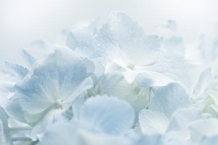 sfondo romantico: Sweet blue Hydrangeas in soft color style for romantic background