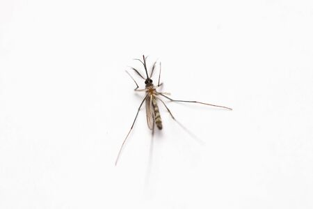 culicidae: Short focus of Dead mosquito lie-down on white background. Stock Photo