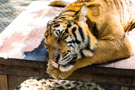 dormant: Portrait of a tiger lies dormant sleeping on the wooden table. Shallow depth of field