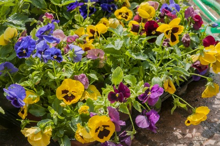 colorful pansy's in pot's