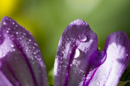 beautiful lilac flower Malva sylvestris with water drops on it
