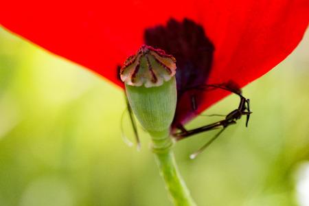 poppy flower in the nature in spring time full blossom Zdjęcie Seryjne