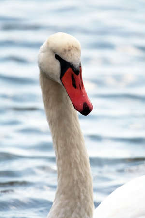 Swans curved neck and head photo