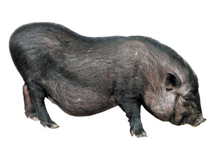 Vietnamese pig isolated on white photo