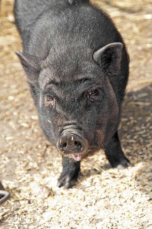 Vietnamese pig feeding with oat photo