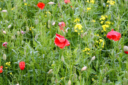 Poppies and rapes photo