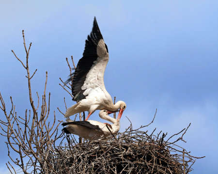 Mating stork couple in nest photo