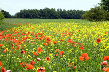 Poppies and rape flowers in the field photo