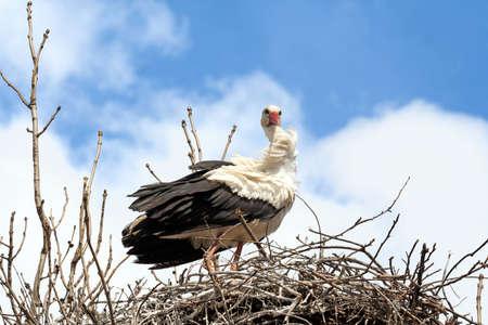Staring stork in the nest photo