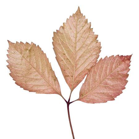 Isolated autumn leaf photo