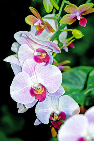 Orchid Phalaenopsis Stock Photo
