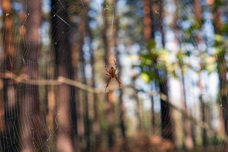 Spider on cobweb in wild forest  photo