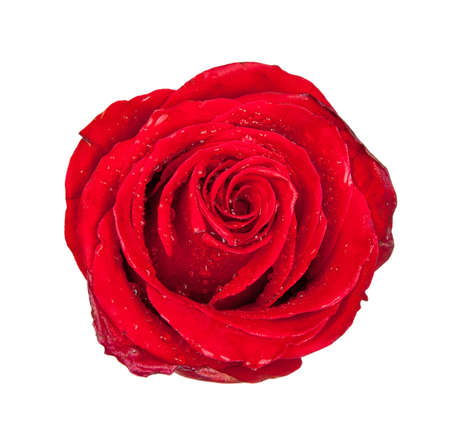Red rose bud isolated on white background  photo