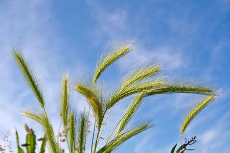 spica: Espiga de trigo en cielo azul