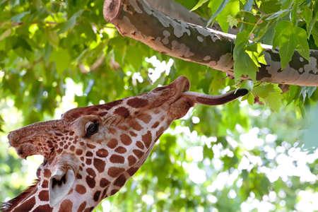 Giraffe eating green leaves on the tree in Kiev zoo, Ukraine