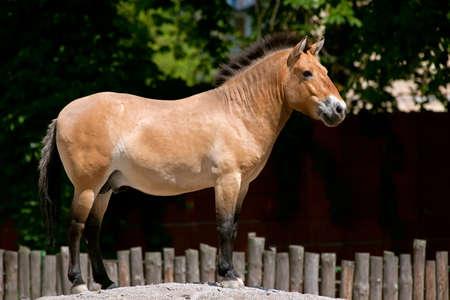 Przewalski's Horse standing on the hill in kiev zoo, ukraine