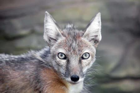 staring corsac fox in kiev zoo  photo