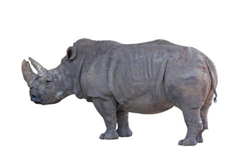 rhinoceros: Grey african rhino isolated on white background