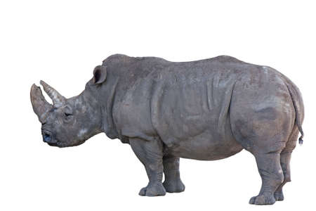 Grey african rhino isolated on white background
