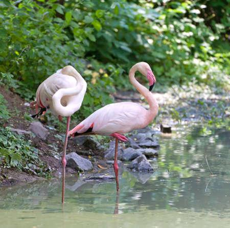 pink flamingo: Pair of rose flamingo stranding in the lake, summer shot
