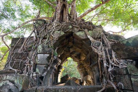 banyan: Banyan trees on ruins in Beng Mealea temple, Cambodia