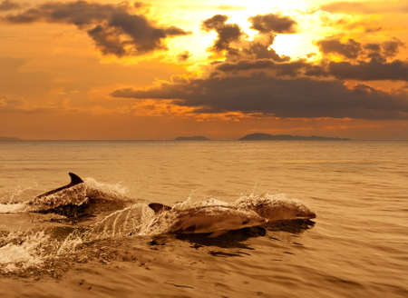Three dolphins playing in the sunset sea with water splashes  Stock Photo