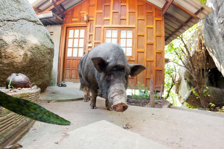 Curious vietnamese pig near bungalow in Thailand  photo