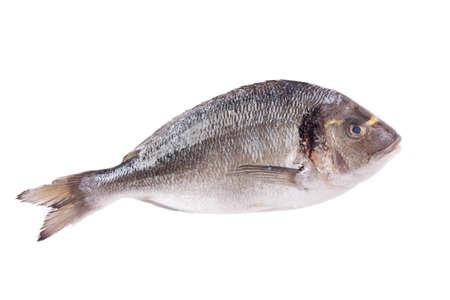 sparus: Dorado fish isolated on white background